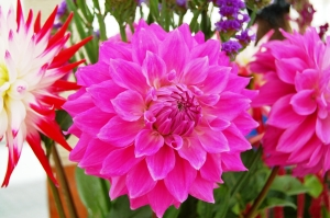 Chepstow Show 2014 - Horticulture Section - Prize-winning Dahlia